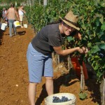 Nicky picks grapes in the vineyard