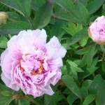 Pink peony flower in early April