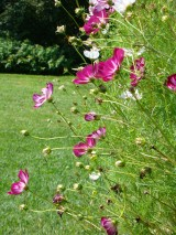 Cosmos in August