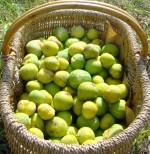 Wicker basket of fresh figs