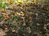 Carpet of figs under fig tree