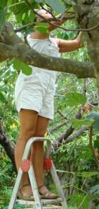 Marija up step ladder picking figs