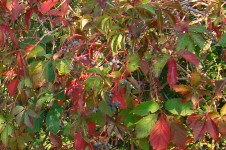 Parthenocissus going red at the start of Autumn