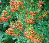 Orange pyracantha berries bring a splash of colour to the garden
