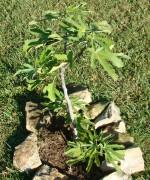 Little fig tree growing in the garden