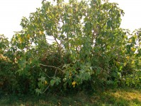 Fig tree covered in figs