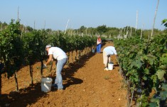 Pickers picking grapes in Istria