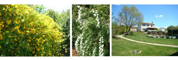 Keria, spirea and garden in April in Istria