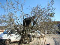Pruning the frost scorched olive tree in Istrian garden