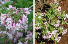 Exquisite kolkwitzia and pretty weigela in Istria