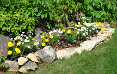 Marguerites & marigolds make a pretty wall bed in Istria