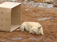 Taking a break - Miro's dog, Siska & her cardboard kennel in Kovaci, Istria