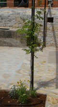Planting up house pergola in Kovaci, Istria - campsis, sage & coreopsis