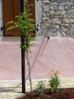 Plants on pergola in Kovaci, Istria