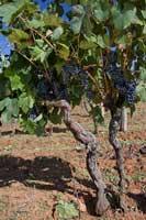 a Damjanic vine, Istria
