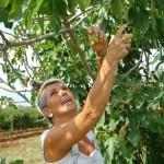 Marija picking figs