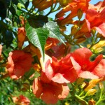 Red campsis in August