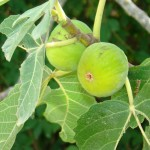 Delicious, scrumptious figs