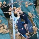 Nicky harvesting kiwis