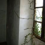 Ivy climbing in through bedroom window